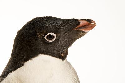 An Adelie Penguin, Pygoscelis Adeliae, at the Faunia Zoo.-Joel Sartore-Photographic Print