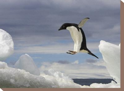 An Adelie Penguin, Pygoscelis Adeliae, Jumping on an Iceberg-Ralph Lee Hopkins-Stretched Canvas Print