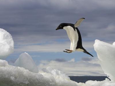 An Adelie Penguin, Pygoscelis Adeliae, Jumping on an Iceberg-Ralph Lee Hopkins-Photographic Print