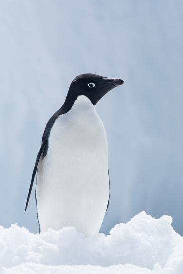 An Adelie Penguin, Pygoscelis Adeliae, Standing on Sea Ice in Antarctic Sound-Jeff Mauritzen-Photographic Print