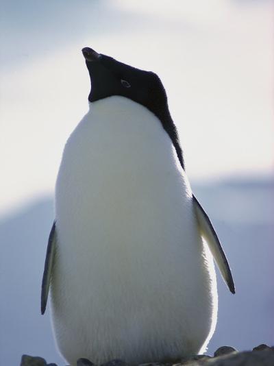An Adelie Penguin-Bill Curtsinger-Photographic Print