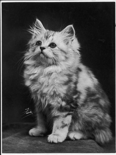 An Adorable Fluffy Kitten Looks up at Its Owner--Photographic Print