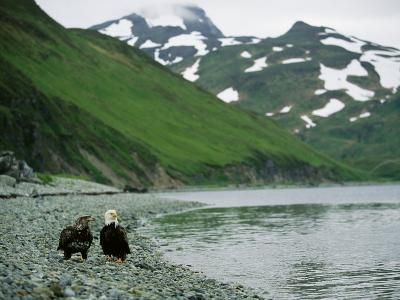 An Adult and Juvenile American Bald Eagle Rest Along the Shoreline-Klaus Nigge-Photographic Print