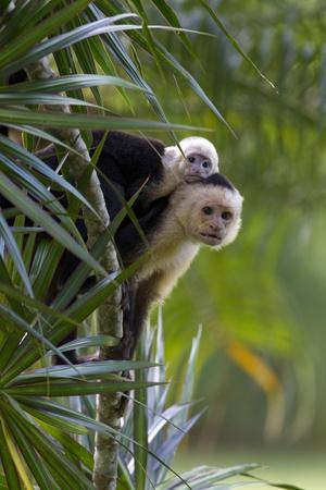 An Adult and Juvenile Brown Capuchin Monkey-Roy Toft-Photographic Print