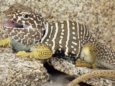 An Adult Baja Collared Lizard, Crotaphytus, in Breeding Coloration-Gerold Merker-Photographic Print