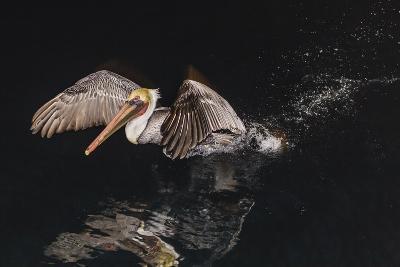 An Adult Brown Pelican (Pelecanus Occidentalis) at Night Near Isla Santa Catalina-Michael Nolan-Photographic Print
