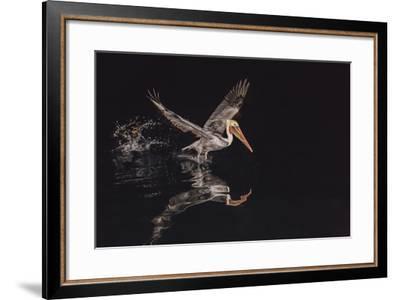 An Adult Brown Pelican (Pelecanus Occidentalis) at Night Near Isla Santa Catalina-Michael Nolan-Framed Photographic Print
