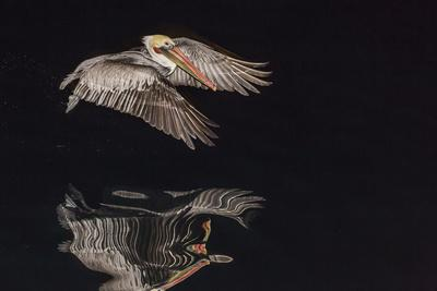 https://imgc.artprintimages.com/img/print/an-adult-brown-pelican-pelecanus-occidentalis-at-night-near-isla-santa-catalina_u-l-q12qsyg0.jpg?p=0