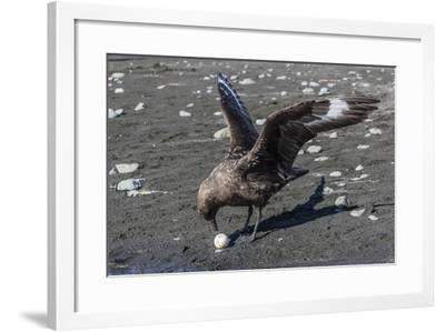 An Adult Brown Skua (Stercorarius Spp), with a Stolen Penguin Egg at Barrientos Island, Antarctica-Michael Nolan-Framed Photographic Print