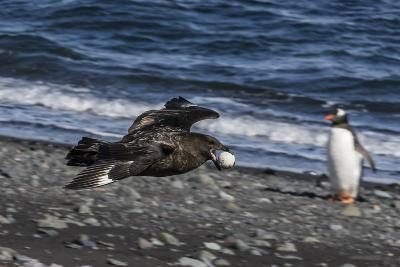 An Adult Brown Skua (Stercorarius Spp)-Michael Nolan-Photographic Print
