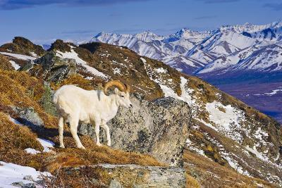 An Adult Dall Sheep Ram Standing on Mount Margrett with the Alaska Range in the Background-Design Pics Inc-Photographic Print