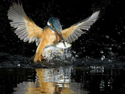An Adult Female Common Kingfisher, Alcedo Atthis, with a Common Roach-Joe Petersburger-Photographic Print