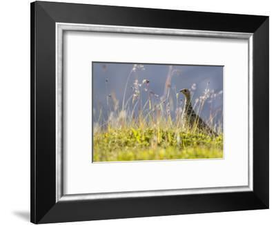 An Adult Female Willow Ptarmigan (Lagopus Lagopus) in Summer Plumage on the Snaefellsnes Peninsula-Michael Nolan-Framed Photographic Print