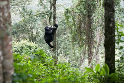 https://imgc.artprintimages.com/img/print/an-adult-gorilla-climbs-a-tree-in-the-impenetrable-forest_u-l-pokyec0.jpg?p=0