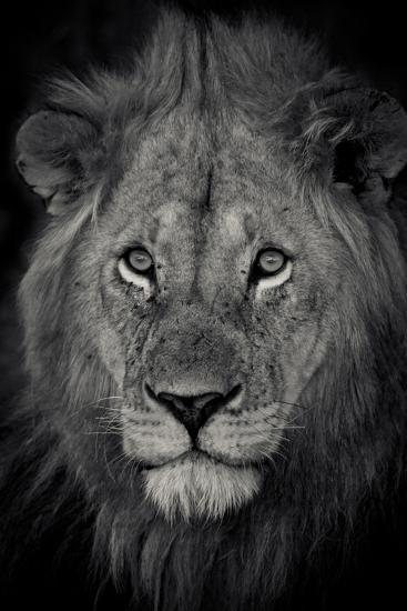 An Adult Lion Sits and Waits for Night to Fall in the Fading Light-Robin Moore-Photographic Print
