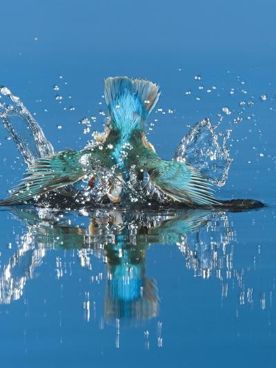 An Adult Male Common Kingfisher, Alcedo Atthis, Dives into the Water-Joe Petersburger-Photographic Print