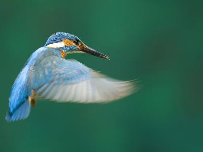 An Adult Male Common Kingfisher, Alcedo Atthis, Hovering over Water-Joe Petersburger-Photographic Print