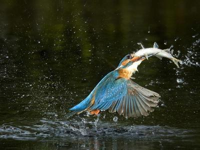 An Adult Male Common Kingfisher, Alcedo Atthis, with a Common Roach-Joe Petersburger-Photographic Print