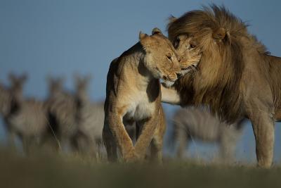An Adult Male Lion Approaches a Vumbi Female-Michael Nichols-Photographic Print