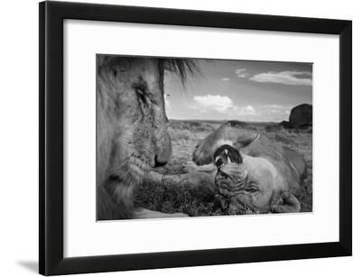 An adult male lion, C-Boy, and a Vumbi female relax between matings.-Michael Nichols-Framed Photographic Print