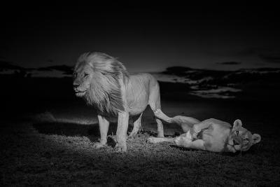 An Adult Male Lion, Hildur, and a Vumbi Female Rest after Mating-Michael Nichols-Photographic Print