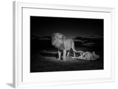 An Adult Male Lion, Hildur, and a Vumbi Female Rest after Mating-Michael Nichols-Framed Photographic Print