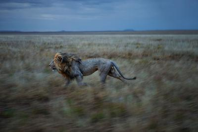 An Adult Male Lion, Hildur, Frequently Makes a Long Run to Visit the Simba East Pride-Michael Nichols-Photographic Print