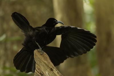 An Adult Male Paradise Riflebird Performs a Practice Display-Tim Laman-Photographic Print