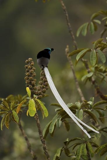 An Adult Male Ribbon Tailed Astrapia On a Schefflera Tree-Tim Laman-Photographic Print