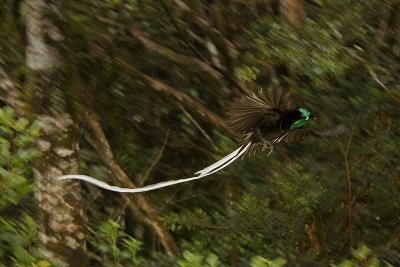 An Adult Male Ribbon Tailed Bird of Paradise in Flight-Tim Laman-Photographic Print