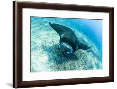 An adult manta ray at Makaser, Komodo Nat'l Park, Flores Sea, Indonesia, Southeast Asia-Michael Nolan-Framed Photographic Print