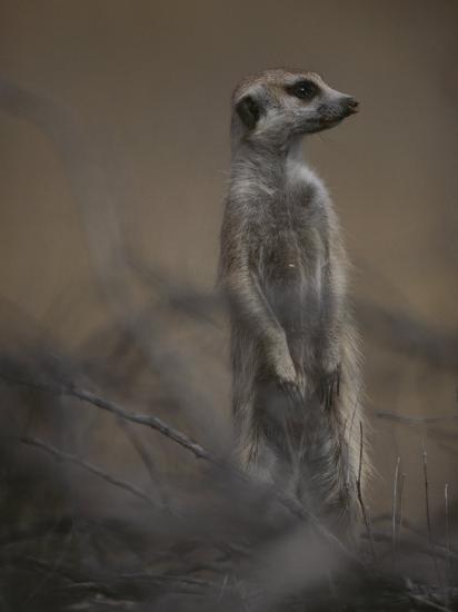 An Adult Meerkat (Suricata Suricatta) Stands on Lookout-Mattias Klum-Photographic Print