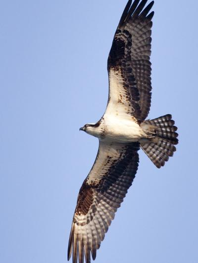 An Adult Osprey, Pandion Haliaetus, in Flight-Kent Kobersteen-Photographic Print