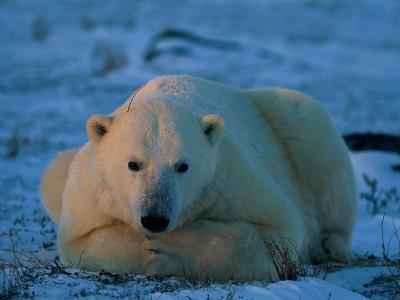 An Adult Polar Bear (Ursus Marititmus) at Ease-Norbert Rosing-Photographic Print