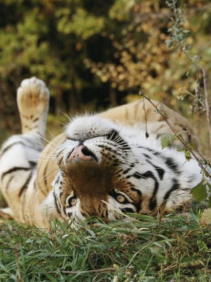 An Adult Siberian Tiger Lounges on His Back-Dr^ Maurice G^ Hornocker-Photographic Print