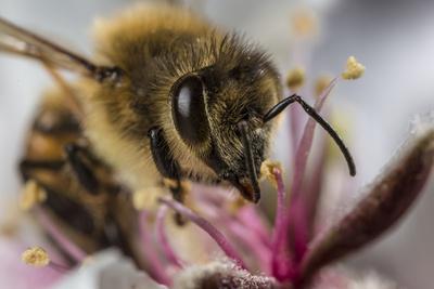 https://imgc.artprintimages.com/img/print/an-adult-worker-honeybee-apis-mellifera-foraging-in-an-almond-flower_u-l-q1dbvxh0.jpg?p=0