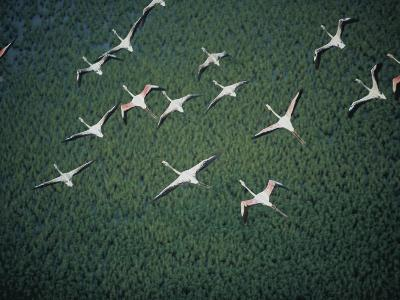 An Aerial View of Flamingos Flying-Chris Johns-Photographic Print