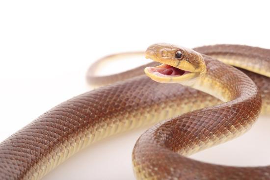 An Aesculapian Snake in a Defense Posture-Joe Petersburger-Photographic Print