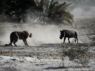 An African Cheetah and a Warthog Kick up Clouds of Dust in a Tense Confrontation-Chris Johns-Photographic Print