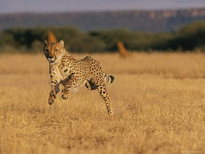 An African Cheetah Appears to Be Leaping in the Air in Mid-Sprint-Chris Johns-Photographic Print