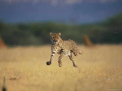An African Cheetah Caught with All Feet off the Ground in Mid-Sprint-Chris Johns-Photographic Print