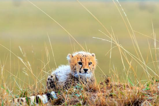 An African Cheetah Cub Resting Near its Mother's Tail-Babak Tafreshi-Photographic Print