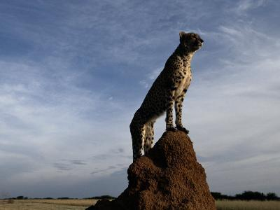 An African Cheetah Guards His Territory from the Top of a Large Termite Mound-Chris Johns-Photographic Print