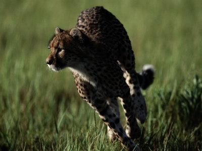 https://imgc.artprintimages.com/img/print/an-african-cheetah-running-in-the-grass_u-l-p4dmkx0.jpg?p=0