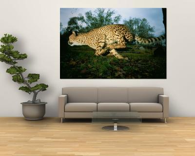 An African Cheetah Runs at the Home of its Owner-Michael Nichols-Wall Mural
