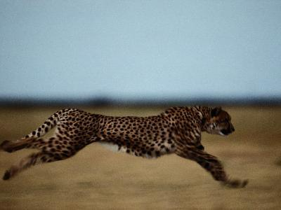 An African Cheetah Sprinting Across the an African Plain-Chris Johns-Photographic Print