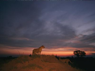 An African Cheetah Stands Majestically on a Large Mound in Front of a Beautiful Sunset-Chris Johns-Photographic Print
