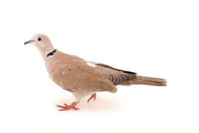 An African Collared Dove, Streptopelia Roseogrisea, at the Sedgwick County Zoo-Joel Sartore-Photographic Print
