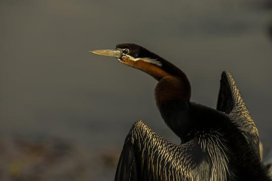 An African Darters, Anhinga Rufa, Spreading its Wings-Beverly Joubert-Photographic Print