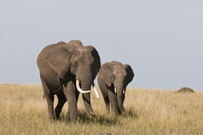 An African Elephant and Youngster, Loxodonta Africana, Walking in a Vast Grassland-Sergio Pitamitz-Photographic Print